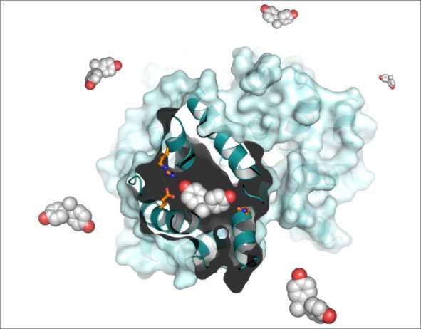 Cette image représente le bisphénol A (avec les atomes de carbone en gris et l'oxygène en rouge) se liant aux récepteurs des œstrogènes (bleu clair). En caractérisant cette interaction, les scientifiques pourront créer des produits industriels moins toxiques. © Inserm/CNRS, V. Delfosse et W. Bourguet