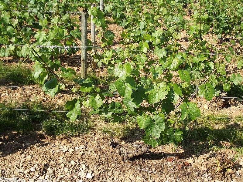 Jeune vigne de chardonnay B en Bourgogne. © JustinC, Wikipédia CC by sa 2.0