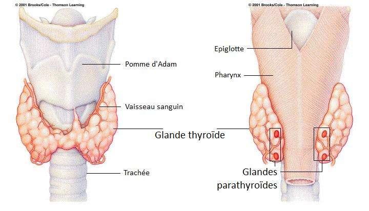 La thyroïde, située dans la gorge, est la plus grande glande du corps humain. © Brooks/Cole