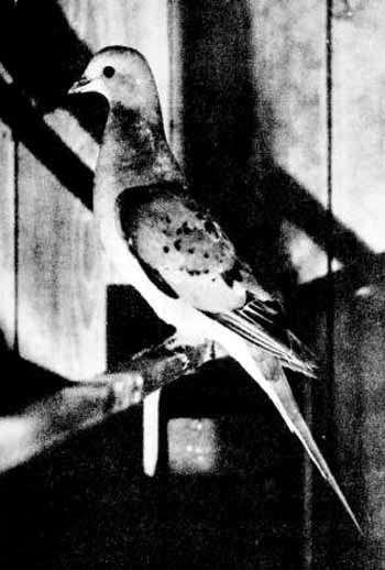 Femelle de pigeon migrateur américain photographiée vivante au zoo du Massachusetts durant l'été 1898. Source Commons