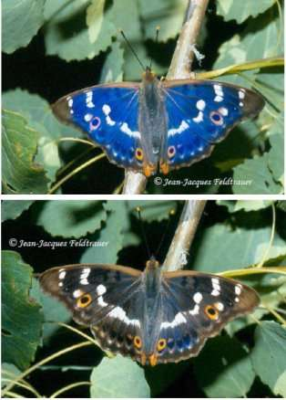 Certains papillons présentent des ailes aux couleurs changeantes, c'est l'irisation. Ici, le même Petit Mars photographié à des angles différents. © Jean-Jacques Feldtrauer