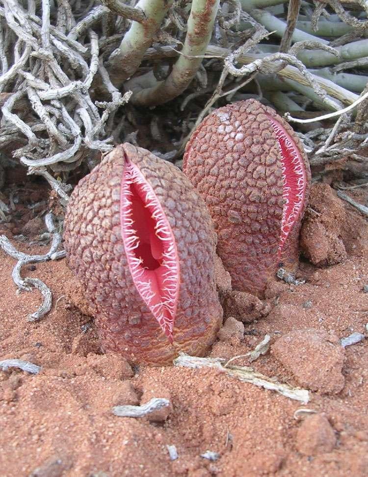Une fleur d'Hydnora africana dans le désert du Karoo en Afrique du Sud. © domaine public