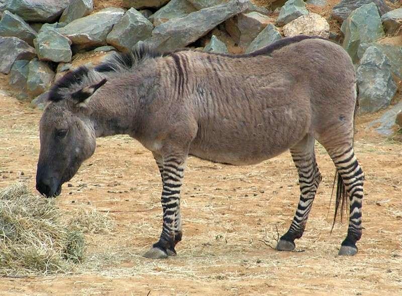Cet hybride de zèbre et d'âne est un zébrâne. Cet animal étant généralement stérile, la pollution génétique s'arrête à la première génération. © Sannse, Wikimedia CC by 3.0