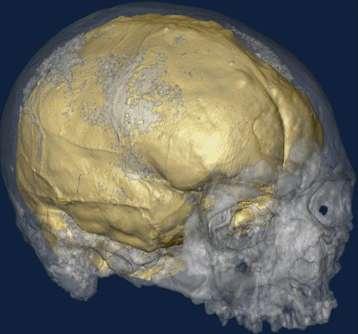La tomographie à rayons X a été utilisée pour réaliser des copies virtuelles en 3 dimensions des crânes analysés. Il s'agit ici d'un crâne de Cro-Magnon. Cette méthodologie est couramment employée en médecine. Les empreintes laissées par les pétalias sont observées au niveau de l'endocrâne (en jaune). © Antoine Balzeau (CNRS/MNHN)
