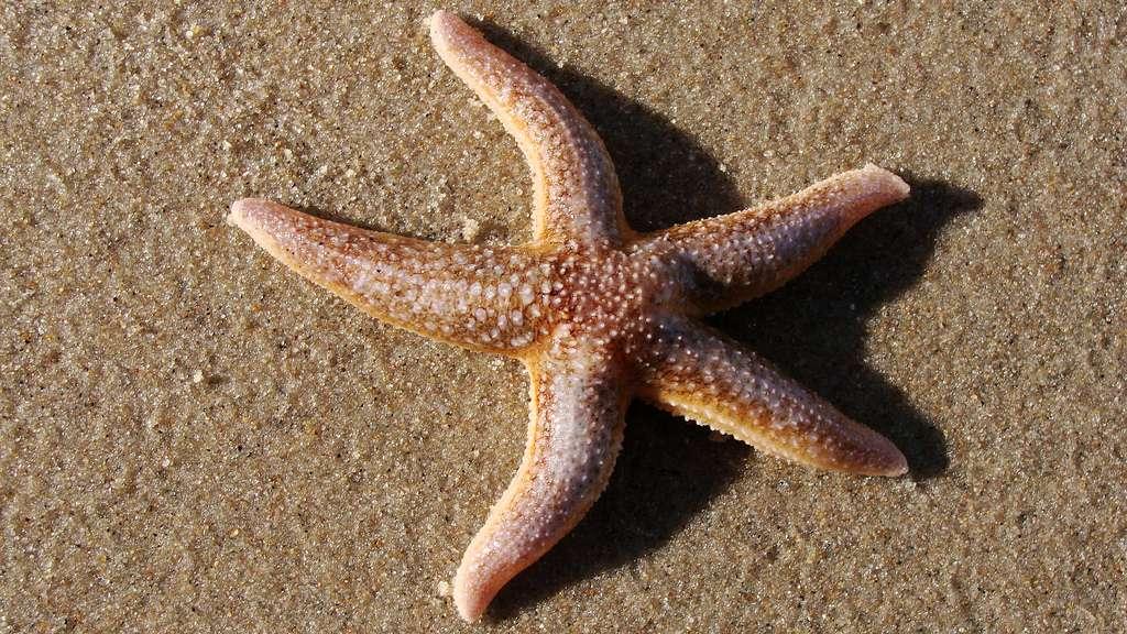 Les étoiles de mer sont des échinodermes, un mot qui signifie « peau d'épines » en grec. Ces animaux marins à symétrie radiaire, ou centrale, possèdent une bouche sur leur face ventrale, au centre d'un cercle de bras tentaculaires. © Kijasek, Flickr, cc by nc nd 2.0