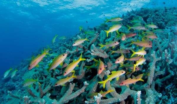 L'activité humaine réduit peu à peu la biodiversité des poissons ainsi que l'intensité des activités au sein des écosystèmes coralliens. © Jean-Michel Boré, IRD