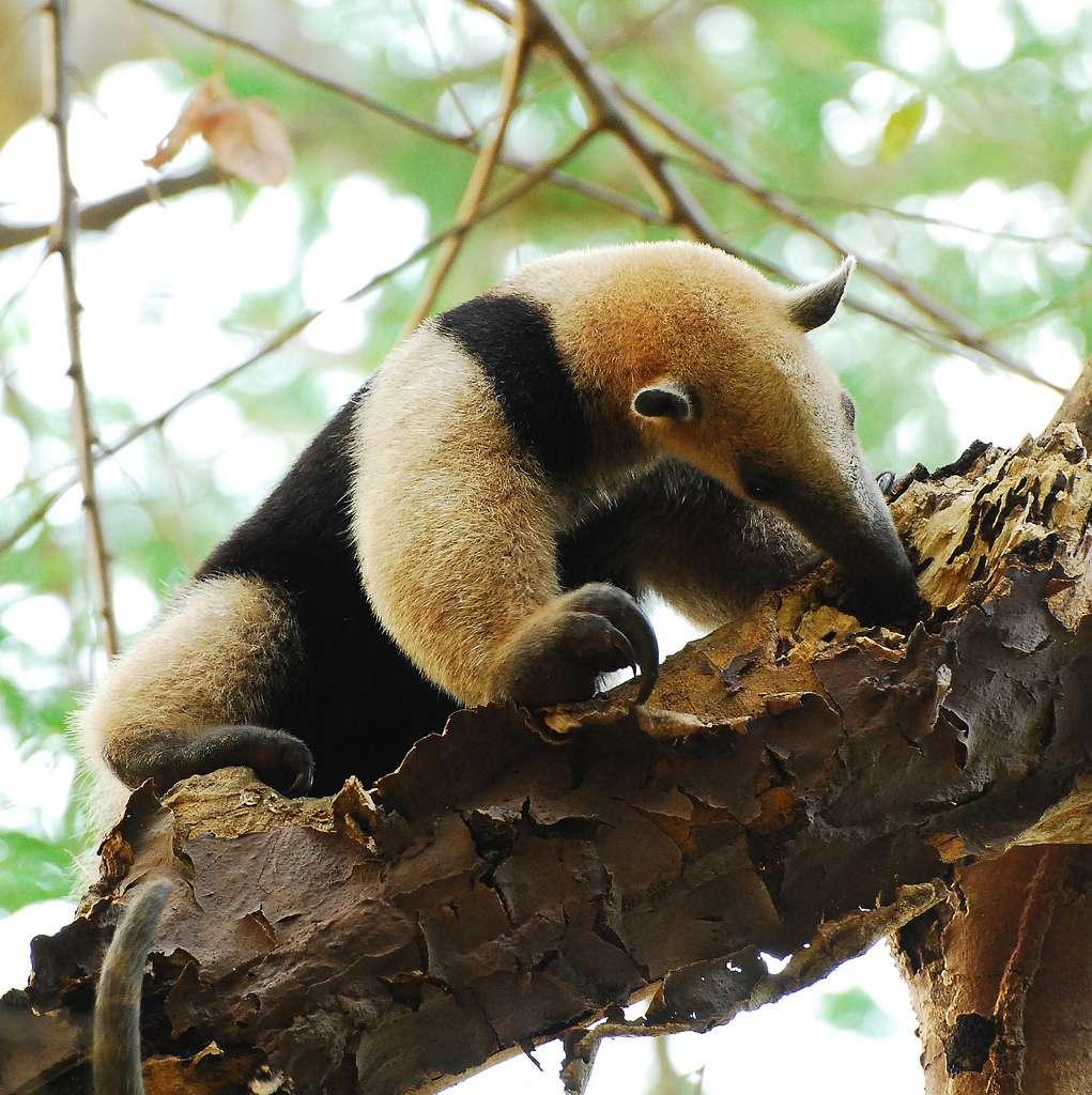 Contrairement à son cousin le tamanoir, le tamandua est arboricole. © jerryoldenettel, Flickr, cc by nc sa 2.0
