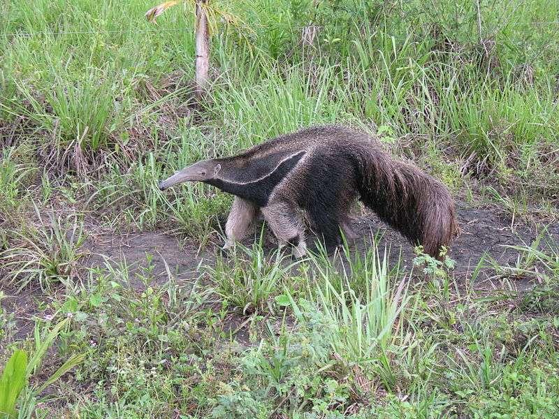 Bien que ses dents soient réduites à leur plus simple expression, il arrive que le fourmilier géant mange des plantes. © Anagoria, Wikipédia, GNU 1.2