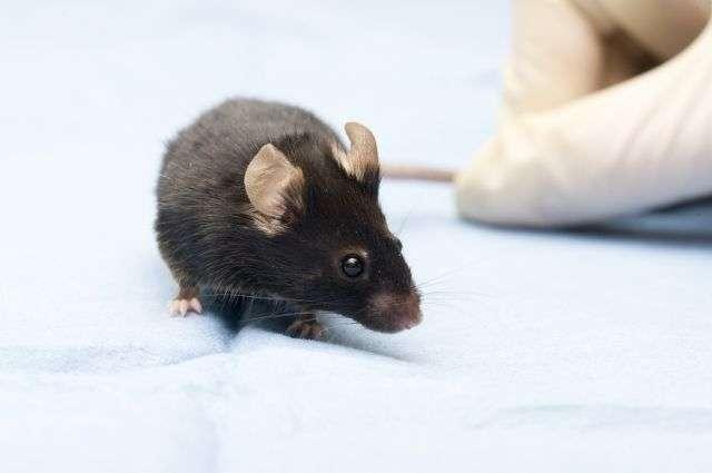 AAQ est un traitement chimique de la cécité. S'il fonctionne chez des souris, il faudra du temps avant qu'il n'arrive chez l'Homme. Les autres thérapies (cellules souches ou implants rétiniens) ont pris de l'avance et sont déjà en cours d'essais cliniques. © Jaroslav74, shutterstock.com