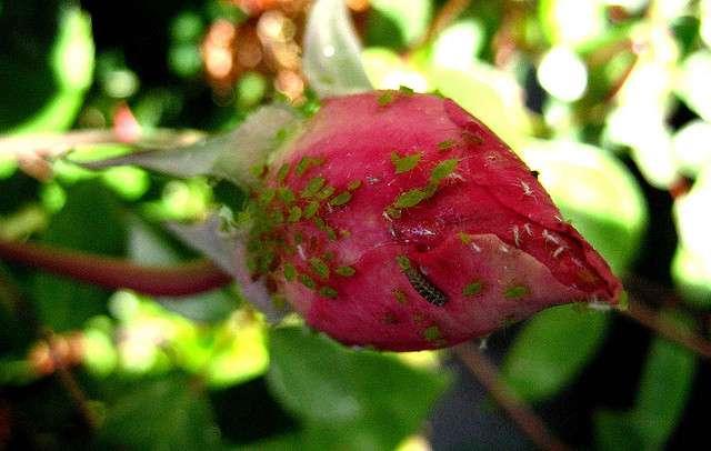 Les pucerons se nourrissent sur les plantes et doivent les empêcher de réagir à leurs attaques. © Doyle Saylor, Flickr, CC by-nc 2.0