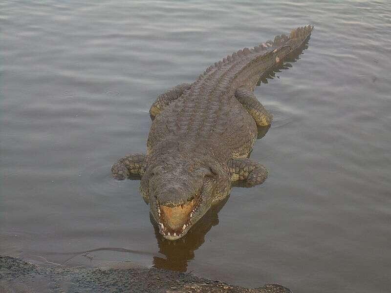 Il n'existe aucune certitude sur l'existence de Crocodylus niloticus (en photo) avant le Quaternaire (2,6 millions d'années). Selon Christopher Brochu, les restes fossiles de crocodiles du Nil trouvés près du lac Turkana (datant du Miocène, entre 2,6 et 23 millions d'années), pourraient appartenir à une autre espèce (Crocodylus checchiai). Le doute subsiste donc... © Clément Bucco-Lechat, Wikimedia common, CC by-sa 3.0