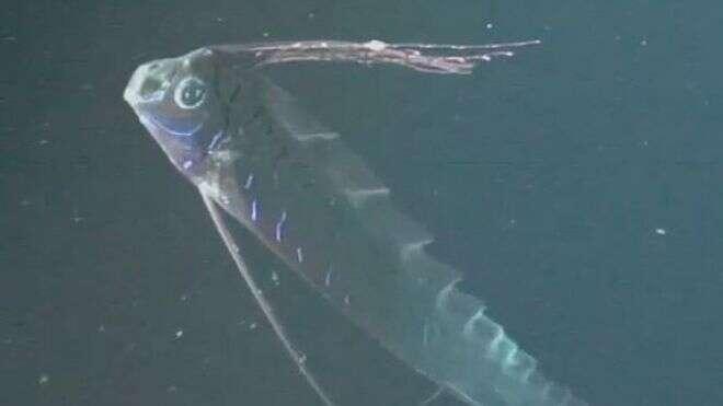 Un regalecidé ne rencontre que très rarement l'Homme. Il vit dans les profondeurs abyssales et loin des côtes. Les biologistes le connaissent si mal qu'on ne peut dire où il vit, s'il est solitaire et ce qu'il mange. © Mark Benfield et al., Journal of Fish Biology