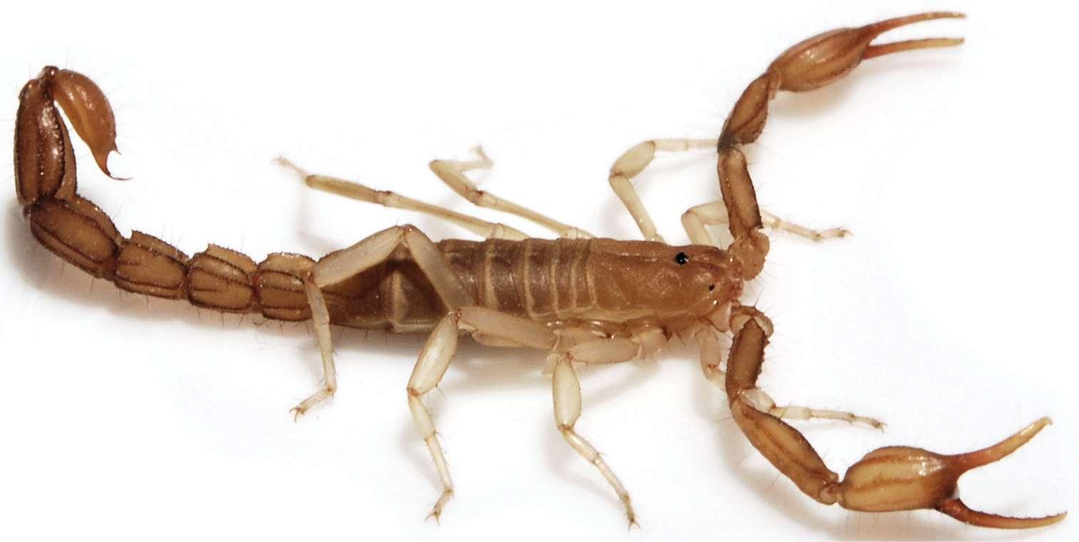 Les scorpions, des arachnides cousins des araignées, sont représentés aujourd'hui par 13 familles. © Webber et al. 2012, Zookeys
