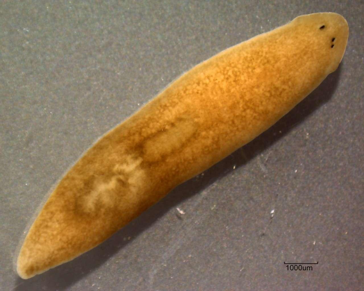 Les vers plats, comme ce Dugesia, sont capables de régénérer leurs tissus manquants grâce à leurs cellules musculaires, qui coordonnent la différenciation de cellules souches appelées cNeoblasts. © Eduard Solà, Wikimedia Commons, cc by sa 3.0