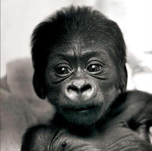 Un joli cadeau de Noël : l'ouvrage sur les gorilles, à découvrir aux éditions Le Pommier. © DR