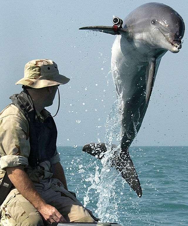 La relation entre le dauphin et l'Homme en a inspiré plus d'un. Malheureusement, la gentillesse et l'intelligence de l'animal ont aussi été utilisées à mauvais escient. L'Homme a tenté d'apprendre aux dauphins à utiliser ses outils, comme ici, lors d'entraînements au déminage par les militaires de l'US Navy. © US Navy, DP