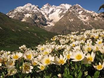 La dryade à huit pétales, Dryas octopetala, vit entre 1.100 et 2.500 m d'altitude dans les Alpes, mais aussi dans les Pyrénées, le Jura et les Apennins. Elle apprécie les terrains calcaires et l'exposition au soleil. Le nombre de ces plantes n'est pas lié à leur diversité génétique, comme pour toutes les autres espèces. © Serge Aubert, Laboratoire d'écologie alpine (CNRS/Université Joseph Fourier Grenoble)