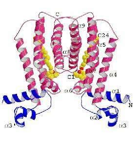 Structure cristalline du répresseur EthR (en rouge et bleu) associé au ligand (en jaune) (crédit : Frénois et al./Neuron)