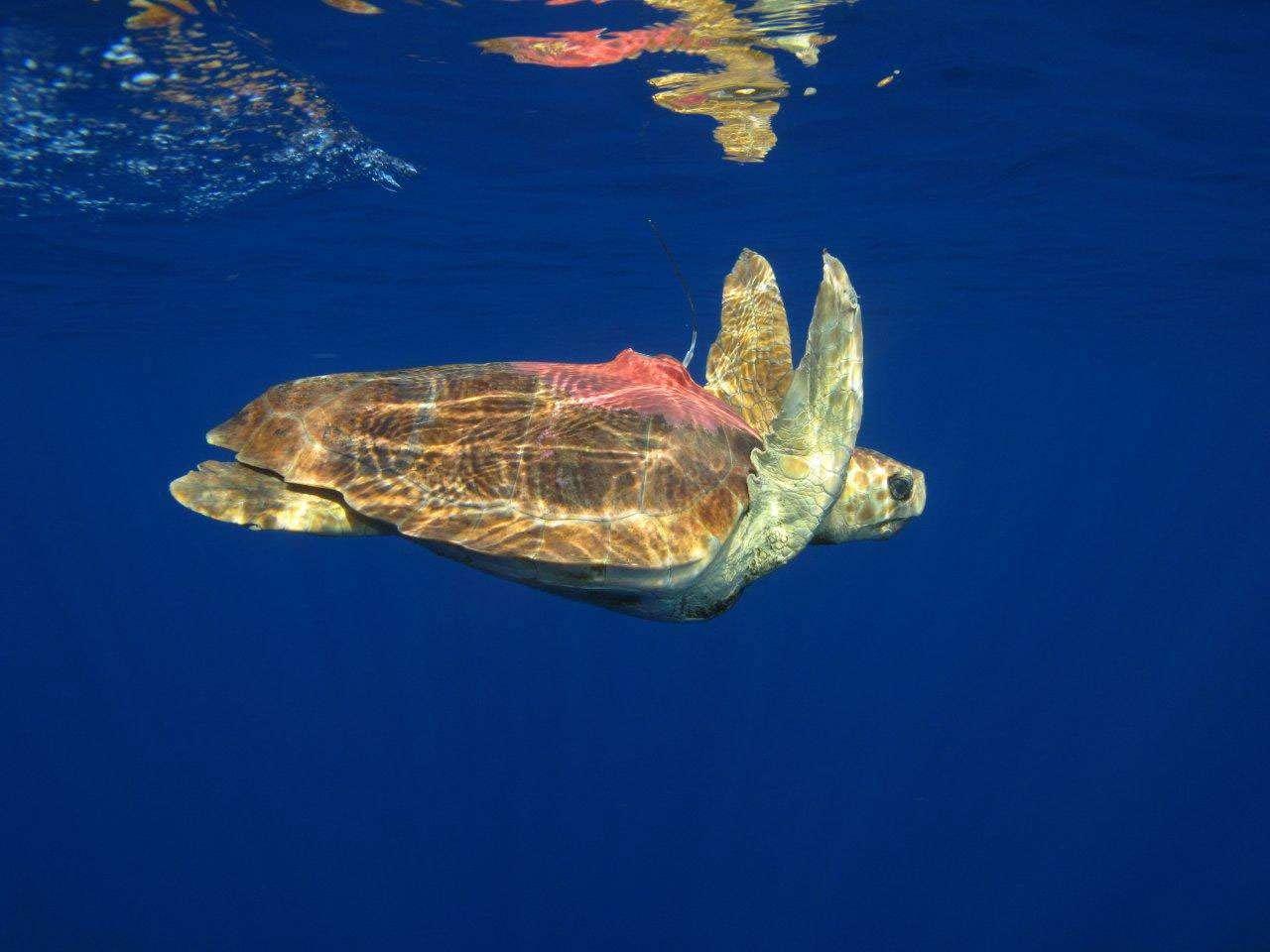 Une tortue caouanne dans l'océan Indien équipée d'une balise Argos. © Ifremer, J. Bourjea