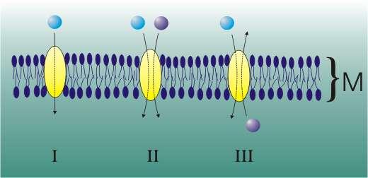 Les différents types de protéines transporteuses de la diffusion facilitée. M est la membrane cellulaire en coupe. En III, une protéine antiport. © Zoph, Wikimedia CC by-sa 3.0