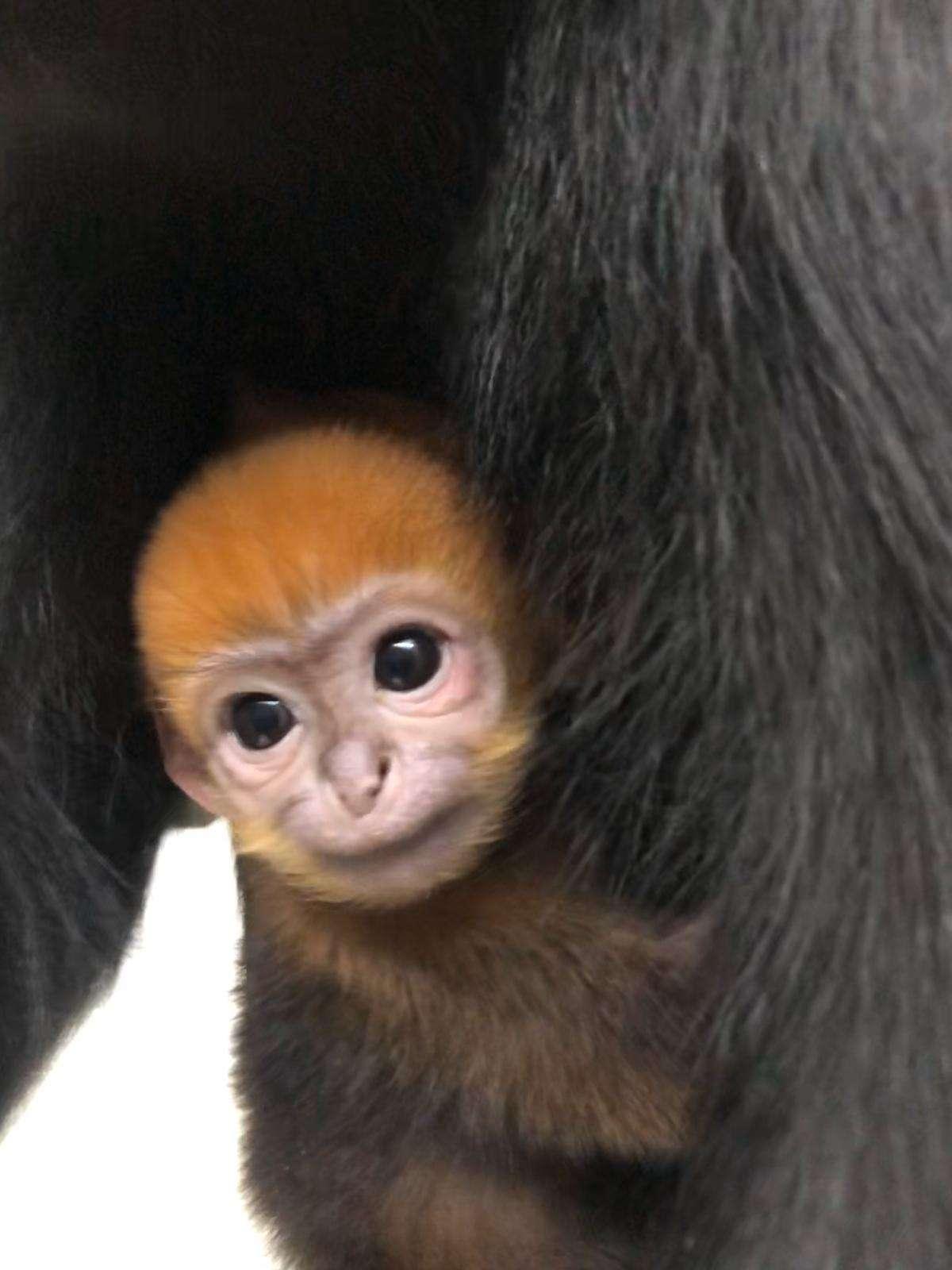 Un bébé Langur de François, une espèce de singe menacée, est né en mars au zoo de la Citadelle à Besançon. © @CitadelBesancon, Twitter