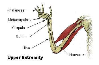 L'humérus est un os long du bras. © DR