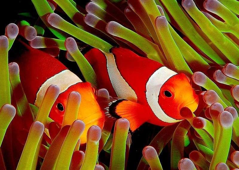 Ces poissons-clowns, à l'abri auprès des anémones de mer, rentrent dans la composition de la biocénose de leur écosystème. © Jenny from Taipei, Wikipédia, CC by 2.0