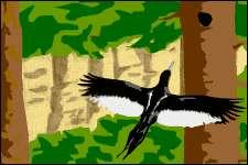 Pic impérial (Campephilus imperialis) femelle retournant au nid, telle que l'avait vu Robert M. Mengel dans les années 50