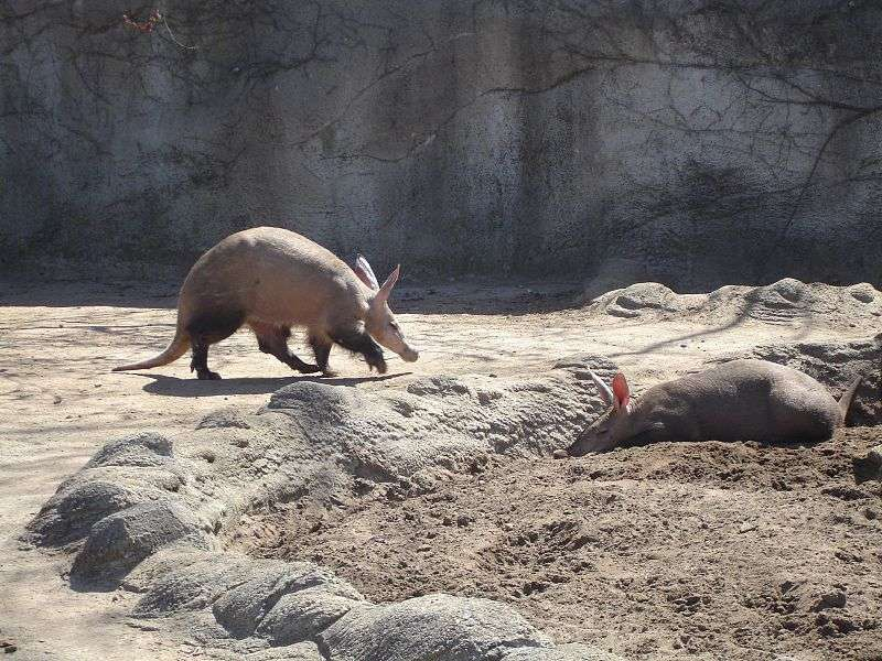 L'oryctérope est le fourmilier fouisseur d'Afrique. © MontageMan, Wikimedia Commons, cc by 2.0