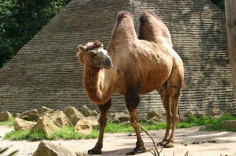 Chameau au zoo d'Amnéville. Ouvert en 1986, il figure parmi les plus grands zoos de France et les plus beaux d'Europe. © Emmanuel Faivre, Wikimedia Commons, cc by sa 3.0