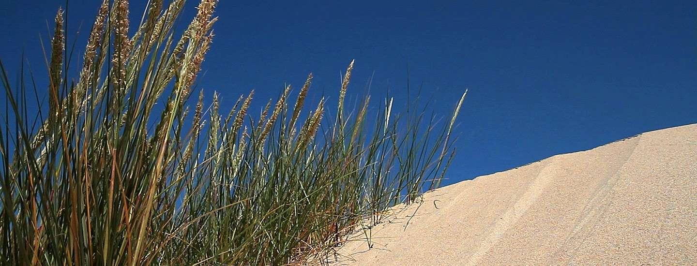 L'oyat (Ammophila arenaria ou Psamma arenaria) vit bien plantée dans les dunes du littoral atlantique, dans les Landes et dans le Nord. Cette plante des lagunes y a été plantée pour les stabiliser, ce qu'elle a très bien réussi. © MNHN