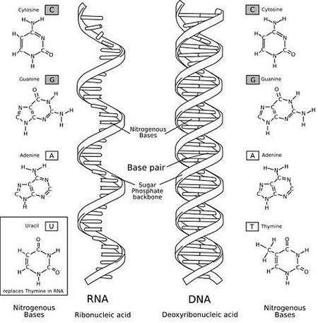 Comparaison entre une molécule d'ARN (à gauche) et d'ADN (à droite). Crédit : GNU Free Documentation License