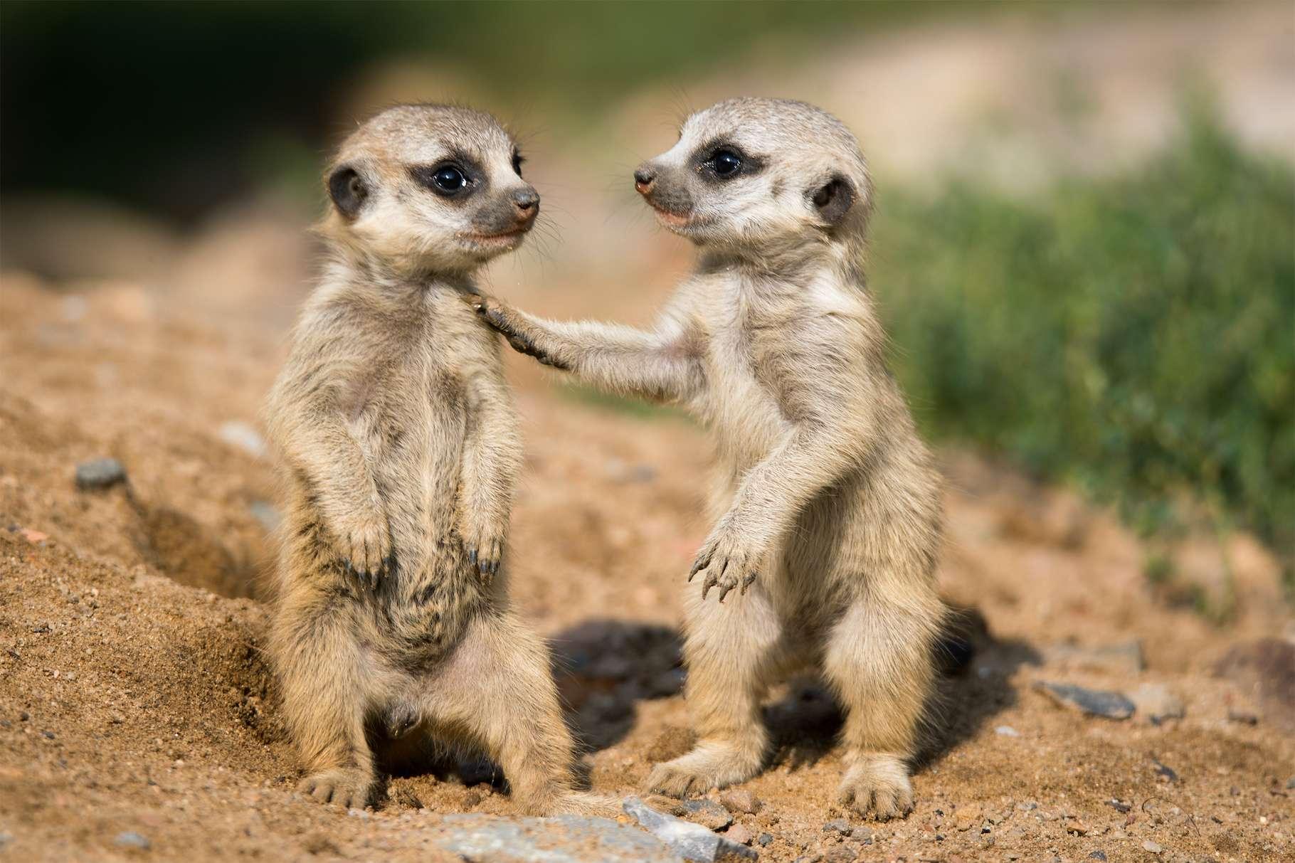 Pendant le confinement, privés de visiteurs humains, les suricates de nos zoos se sont montrés moins actifs et moins amicaux les uns envers les autres. © Cloudtail, Adobe Stock