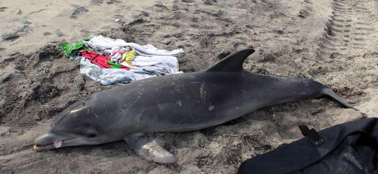 Un grand dauphin trouvé échoué sur une plage de l'État du New Jersey. Depuis le 1er juillet 2013, 134 carcasses de grands dauphins ont été découvertes dans cet État. © Marine Mammal Stranding Center
