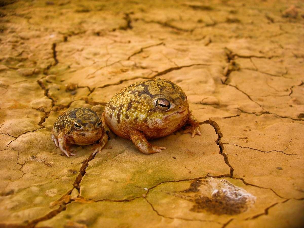 Breviceps macrops est l'une des dix-huit espèces d'amphibien du genre Breviceps. Elle est connue pour son cri atypique. © elineye, Flickr