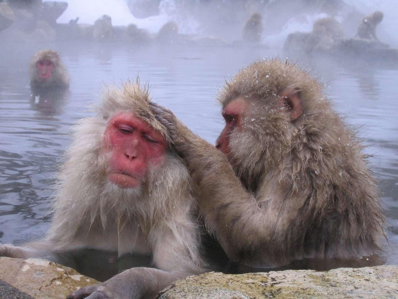 Les singes, à l'image de ces macaques japonais, sont le plus souvent des animaux sociaux, intelligents, dotés de mains préhensiles. Ils figurent parmi les plus importants représentants de l'ordre des primates. © Uron, Fotopedia, cc by nc sa 2.0