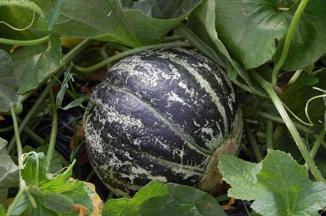 Melon de Lunéville - Crédits : S.H.Lunéville