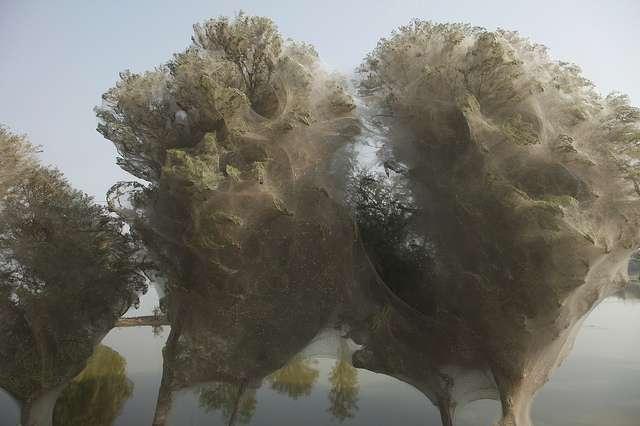 On en a parlé en 2011 : voici des arbres couverts de toiles d'araignée au Pakistan. Ces œuvres d'aranéides mesurent parfois plusieurs mètres de diamètre. © DFID, Flickr, CC by 2.0