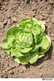 La salade est l'un des aliments qu'il faut éviter de consommer après un accident nucléaire. © Phovoir