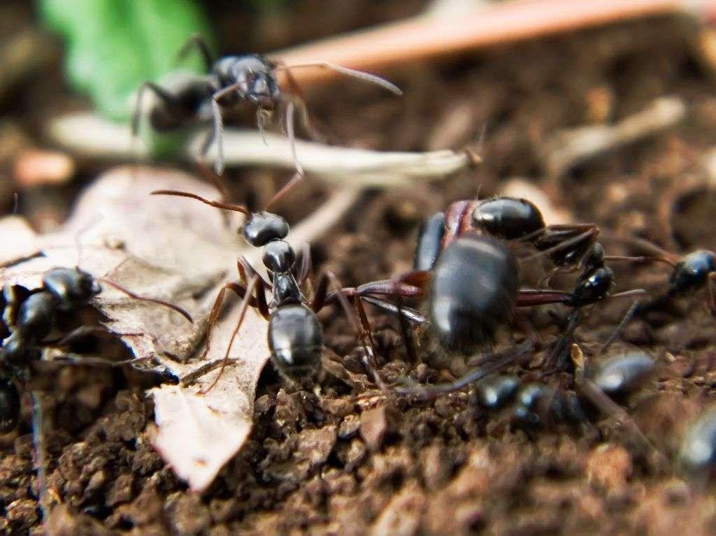 La trophallaxie s'observe chez les fourmis. © luc en diois, CC by nc sa 2.0