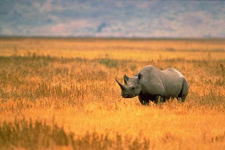 Le rhinocéros noir Diceros bicornis fait partie des grands vertébrés terrestres en danger critique d'extinction. © John and Karen Hollingsworth, US Fish and Wildlife Service, Wikimedia Commons, DP