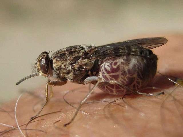La maladie du sommeil, due à un parasite dont le vecteur est la mouché tsé-tsé, pourrait se répandre à cause du réchauffement climatique. © kibuyu, Flickr, cc by nc sa 2.0