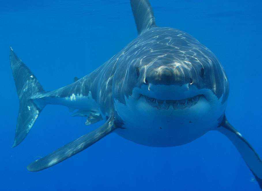 Le grand requin blanc est généralement solitaire. Il ne cesse de nager pour apporter à l'organisme l'oxygène nécessaire à sa survie. C'est le seul requin à sortir la tête hors de l'eau pour observer son environnement. © hermanusbackpackers, Flickr, cc by 2.0