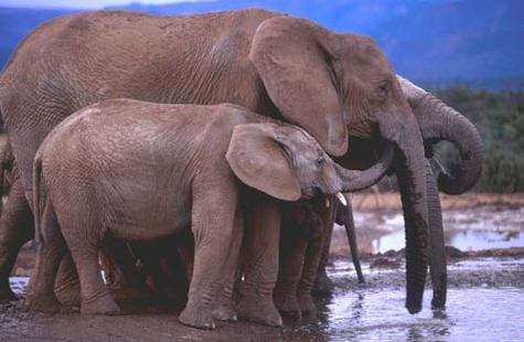 Eléphants d'Afrique dans le Parc National Addo en Afrique du Sud.Reproduction et utilisation interdites © IFAW