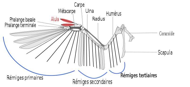 L'alula est un fragment d'aile, très utile pour le vol. © Shyamal, Wikipédia, cc by sa 3.0 - adaptation Toony
