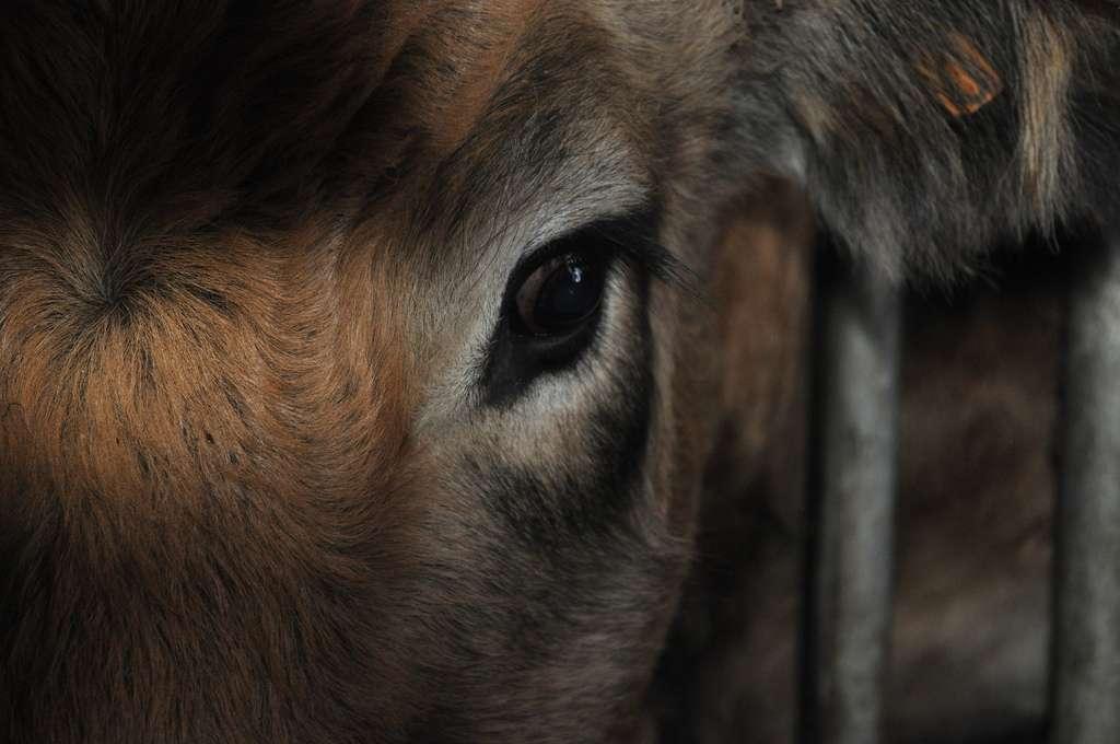 Environ 20 millions de bovins étaient présents au sein d'exploitations agricoles françaises en 2010. © Camsouille, Flickr, cc by nd 2.0