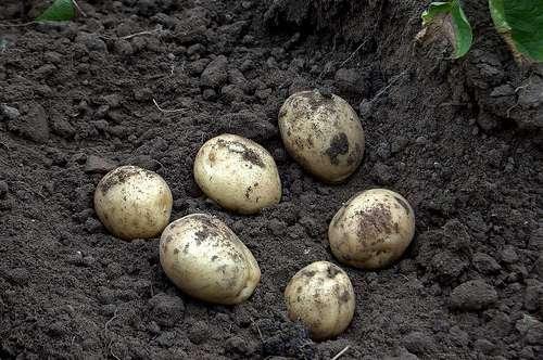La pomme de terre Amflora est le premier OGM autorisé par l'Union européenne depuis 12 ans. Mais les Etats membres ont le choix de l'accepter ou de la refuser. © Shelley & Dave CC by-nc