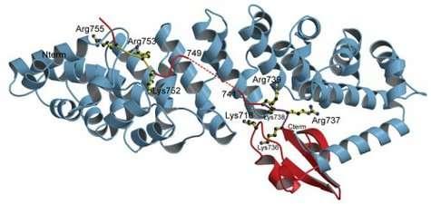 Structure cristallographique du domaine de la polyméraseinteragissant avec la protéine importine alpha 5