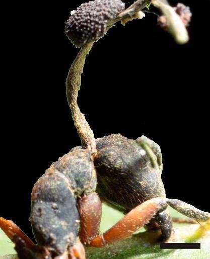 Les fourmis-zombis succombent une fois qu'elles sont arrivées là où les champignons voulaient s'installer. © Plos One