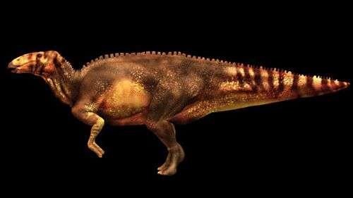 Reconstitution d'hadrosaure par les chercheurs de l'université de Manchester. Crédit Univ. de Manchester